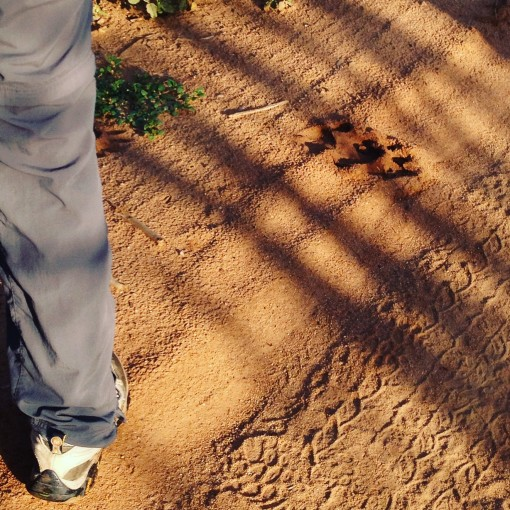 Even when we didn't see the lion, we could see where he (or she) had been. Watch your step!