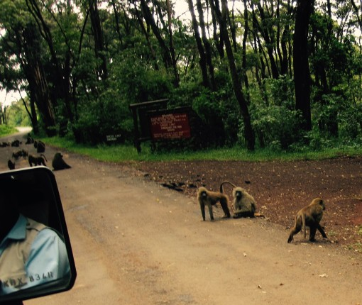 Why did the baboons cross the road? To get to the sack of socks