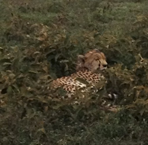 Well, if we couldn't get a photo of the leopard, we did at least get one of the cheetah. Is that cheating?