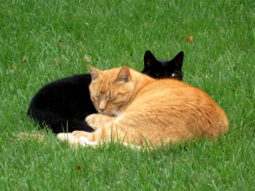 That's belated, beloved Mango, the orange cat, hanging out with his buddy Obama